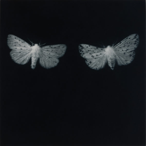 Sarah Gillespie Ermine Moths, 2019