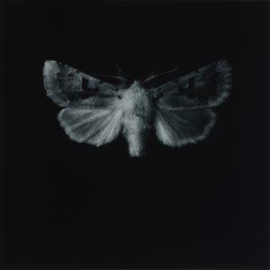 Sarah Gillespie, Hebrew Character Moth