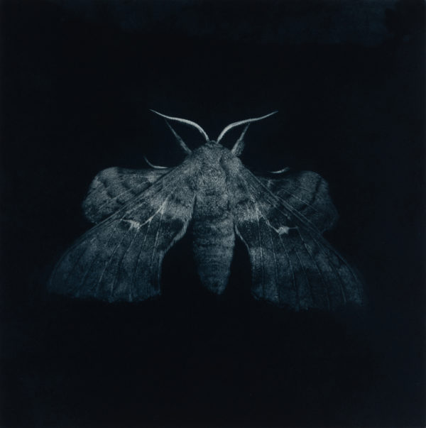 Sarah Gillespie, Ppolar Hawkmoth (blue)