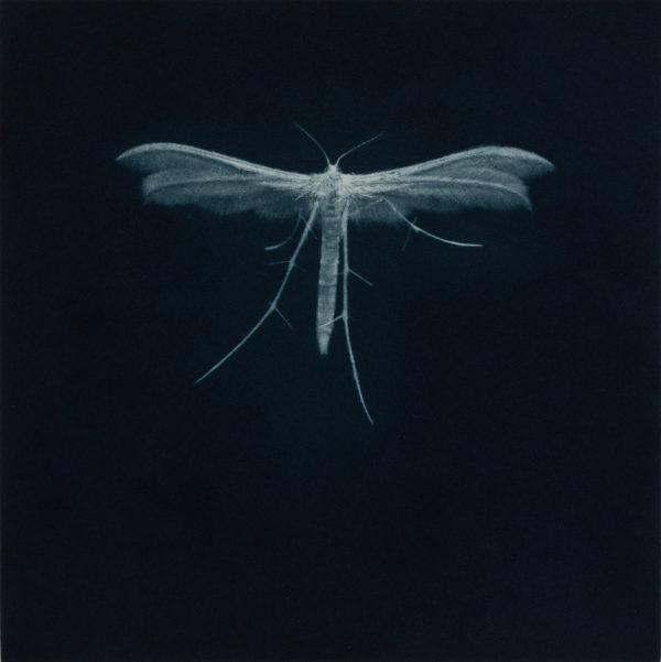 Sarah Gillespie, White Plume Moth, 2019