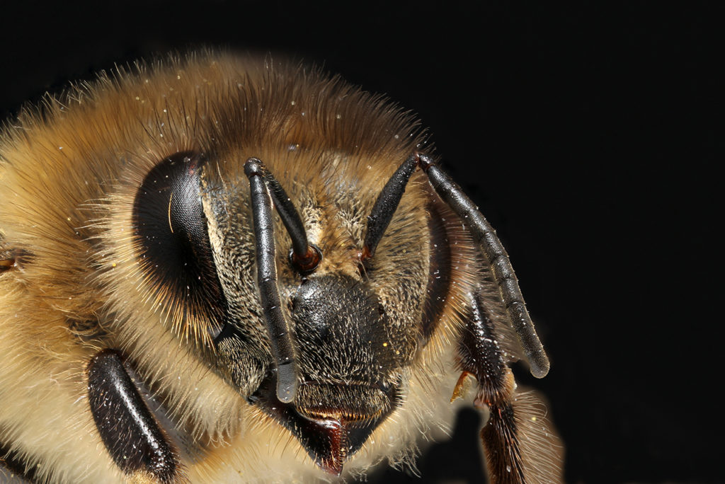 Bee by Arno van Berge Henegouwen