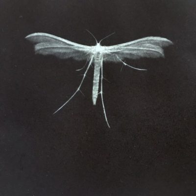 Sarah Gillespie white plume moth