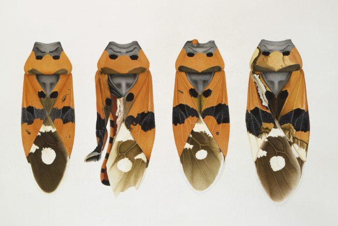 Cornelia Hesse-Honegger, Four seed bugs