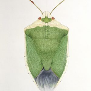 Cornelia Hesse-Honegger Green Shield Bug