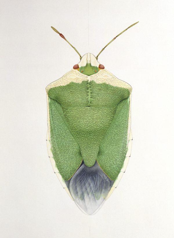 Cornelia Hesse-Honegger Green Shield Bug