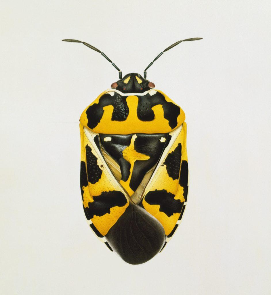 Cornelia Hesse-Honegger, Harlequin Bug