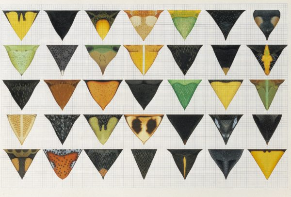 Cornelia Hesse-Honegger 25 Leaf bug shield drawings 1980