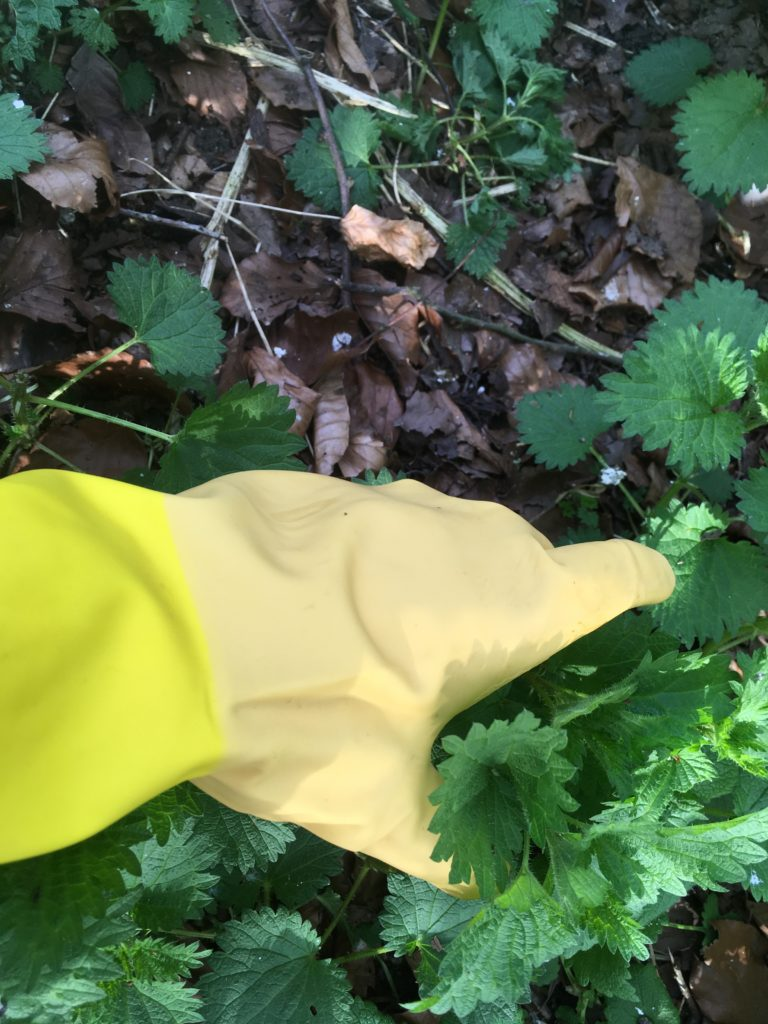 Harvesting nettles wearing gloves