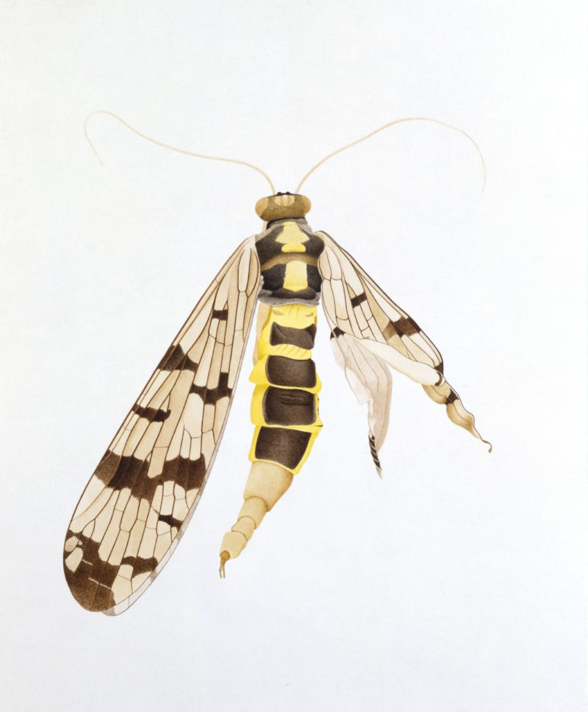 Scorpion fly, Reuental, 1988