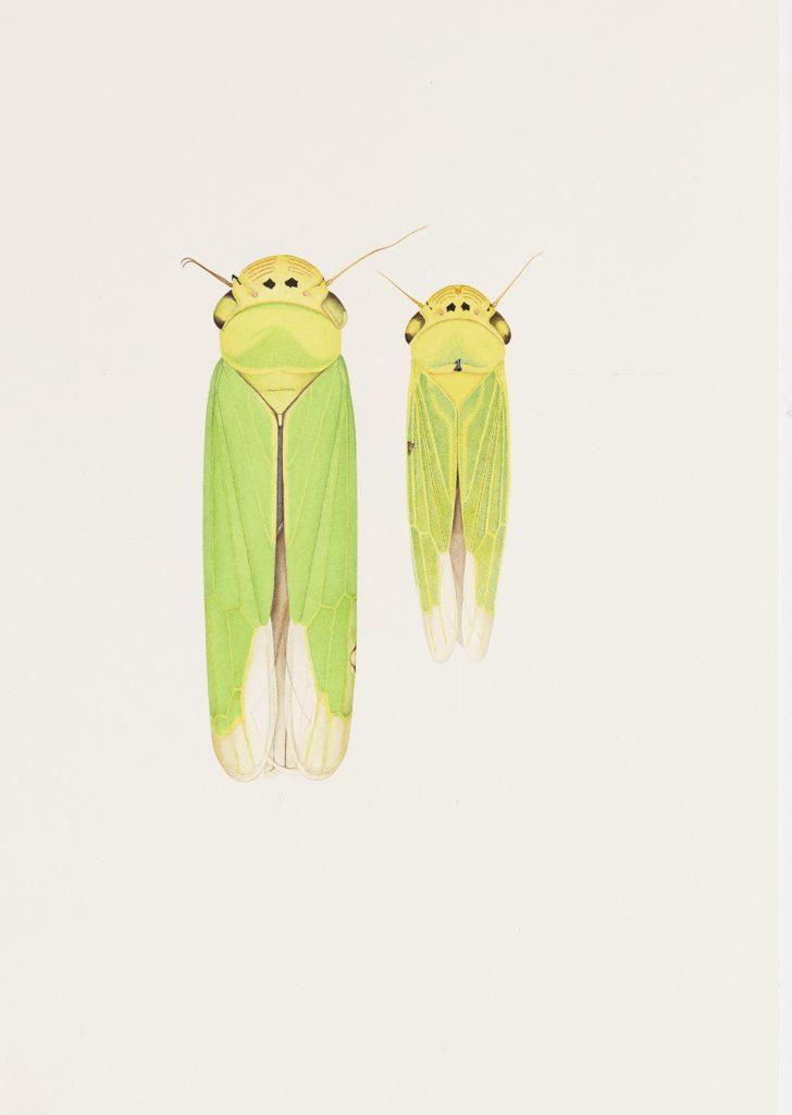 Cornelia Hesse Honegger, Two Cicadas Fukushima