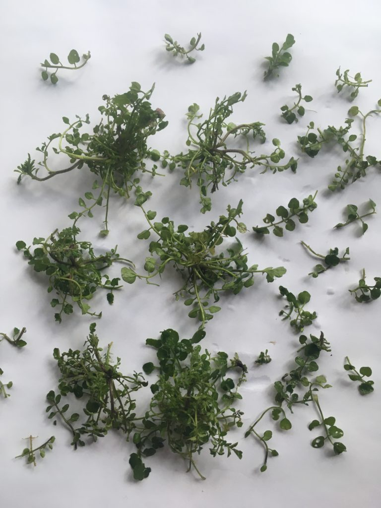 hairy bittercress arranged