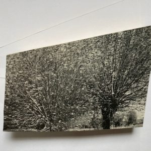 Lotte Scott; Somerset Willow 1