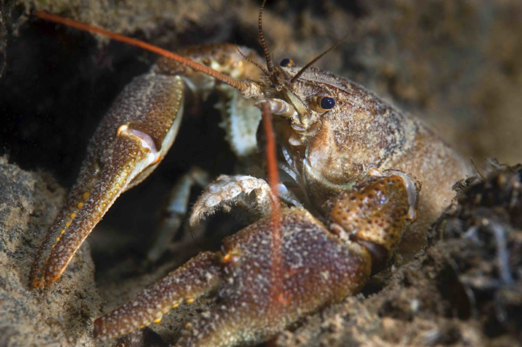 Freshwater white-clawed crayfish