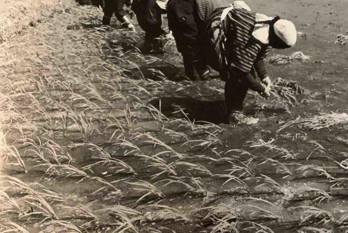 Rice planting in Akita 1952